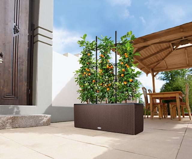 3ab3ba730 Doprajte mu veľký kvetináč a dočkáte sa stromu vysokého dva až tri metre.  Na balkónoch sa taktiež dobre vyníma citrónovník alebo durman.